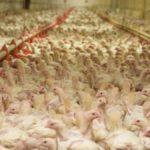 Ue: ancora troppi antibiotici negli allevamenti italiani