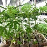 Milleproroghe, nel decreto spunta l'emendamento per la cannabis light